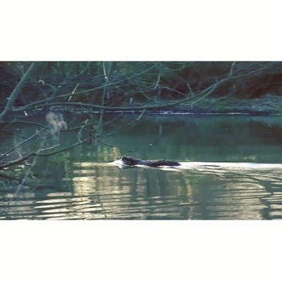 Being with nature leads to some wonderful encounters. Here comes the coypu, a kind of beaver. Ragondin in French. Into the wild #Maraispoitevin 4/6 Clubsocial_video Instagoodvideo Maraispoitevin _vidstagram Videoshoot Icu_video Igtube Creativevideo Wec_ig Sumaysiguevideo Ig_artistry Ms_videos Ig_video Igersfrancevideo Eclectic_videos Insta_globalvideo Tribegram_video Videooftheday Videogramoftheday Global_views_videoshot Jj_video