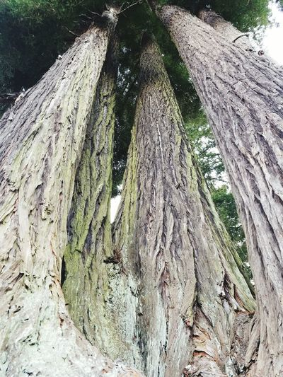 High Angle View Outdoors Tree Redwood Trees Sequoia Redwood Trees Old Trees Thousands Of Year Old Trees Tall Trees Beautiful Tall Trees