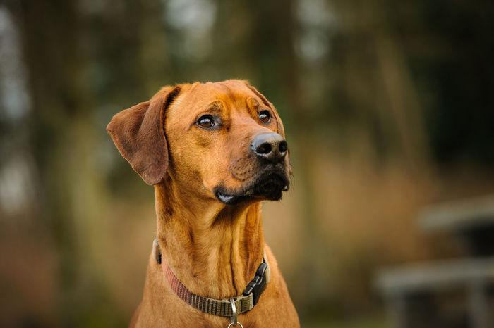 Rhodesian Ridgeback dog Africa Animal Animal Themes Dog No People Pet Rhodesian Ridgeback Ridgeback