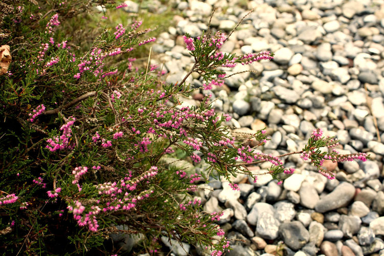 Beauty In Nature Close-up Day Field Flower Focus On Foreground Fragility Freshness Growing Growth High Angle View Leaf Nature No People Outdoors Petal Pink Color Plant Purple Stem Stone Stones And Flowers