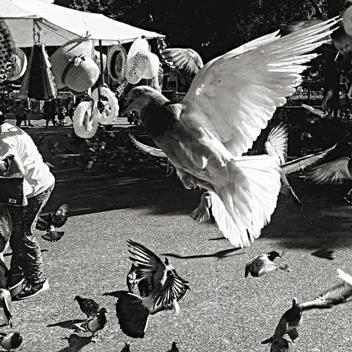 Freedom Bird Spread Wings Flapping Animal Themes Flying Motion Outdoors Day No People Urbannature Dove Outdoor Outdoor Photography Barcelona Catalunya Street Streetphotography Freedom Blackandwhite EyeEmNewHere Plazacatalunya