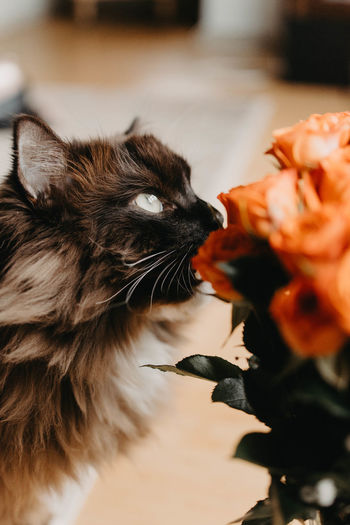 Cat Domestic Cat Feline Pets Animal Themes Flower Domestic Animals Close-up Mammal One Animal Animal Vertebrate Indoors  No People Domestic Flowering Plant Freshness Flower Head Plant Nature Beauty In Nature Whisker Animal Head