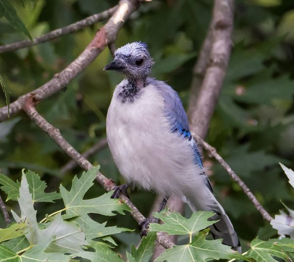 Blue Jay Molting Blue Jay Animal Themes Animal Wildlife Animals In The Wild Baby Blue Jay. Beauty In Nature Bird Close-up Day Nature No People One Animal Outdoors Perching Tree First Eyeem Photo