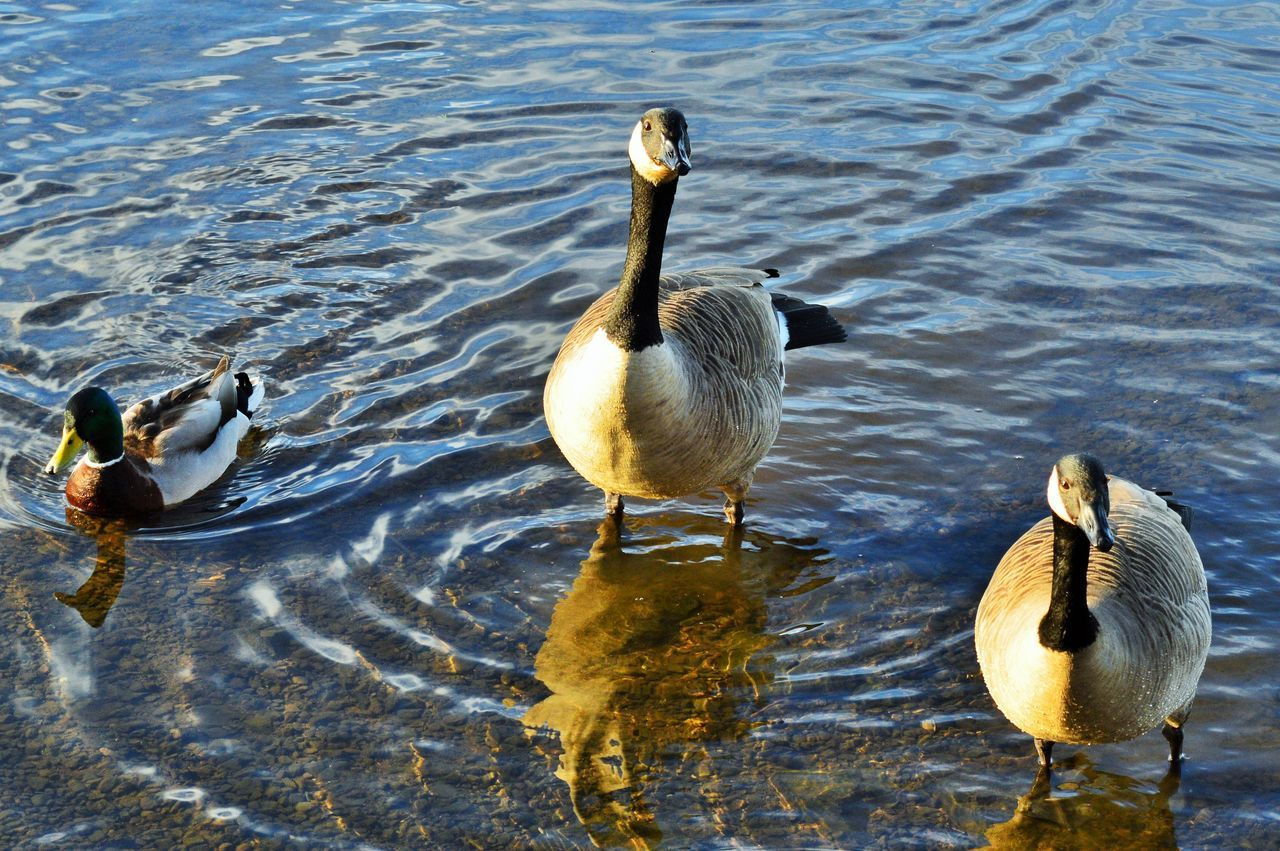 bird, animal wildlife, animals in the wild, group of animals, animal themes, animal, water, vertebrate, lake, no people, nature, waterfront, day, duck, swimming, rippled, poultry, high angle view, young animal, outdoors, gosling, animal family, flock of birds