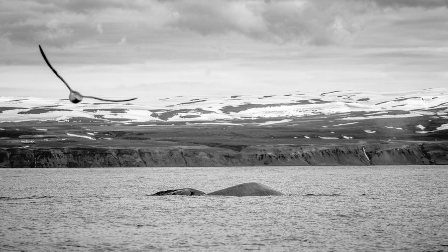 Animal Animals Animals In The Wild Bird Black And White Blackandwhite Blue Whale Clouds Iceland Iceland_collection Landscape Landscape_Collection Landscape_photography Landscapes With WhiteWall Ocean Sea Sky Whale Whale Watching