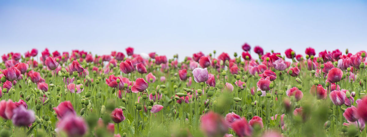 Poppy Field Beauty In Nature Clear Sky Close-up Day Field Flower Flower Head Fragility Freshness Growth Multi Colored Nature No People Outdoors Petal Pink Color Plant Poppy Flowers Red Rural Scene Scenics Sky