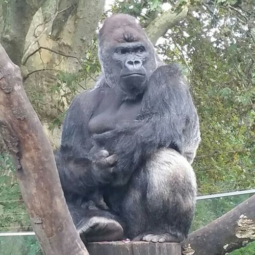 That's gow I would look if I was stuck in a zoo. Silverback Gorilla Amsterdam Artis