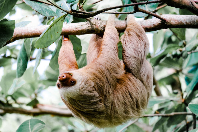 Close-up of sloth on tree branch