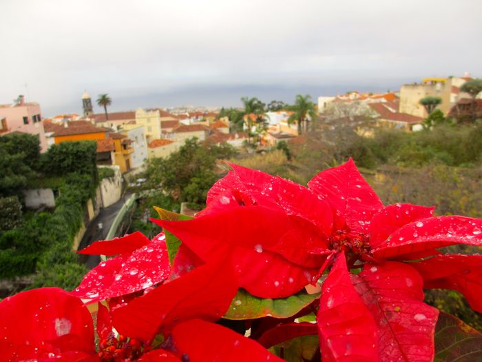 Weihnachtsstern City OverviewPoint South Flower Overview Red Flower Tenerife Island Village Weihnachsstern