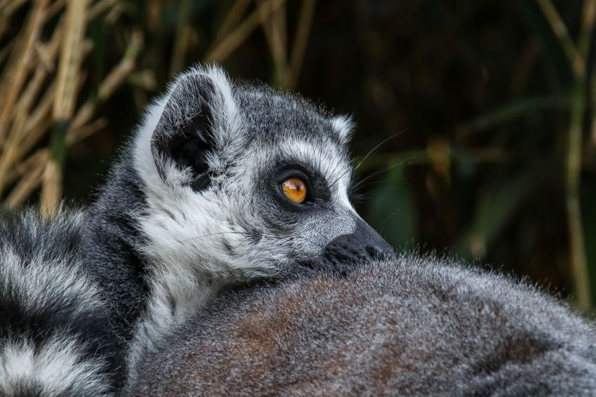 Leave me in peace Nature Photography Nature_collection Nature Maki EyeEm Selects Animal Themes Animal One Animal Animal Wildlife Animals In The Wild Mammal Primate Vertebrate Animal Head  Nature Outdoors Animal Body Part Lemur Close-up