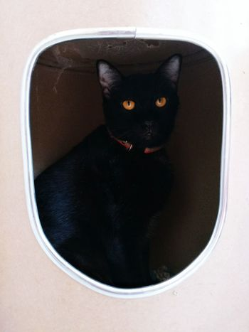 Yellow Eyes Yellow Eyed Cat Black Cat Thai Cat In The Box Domestic Cat Black Color No People One Animal Mammal