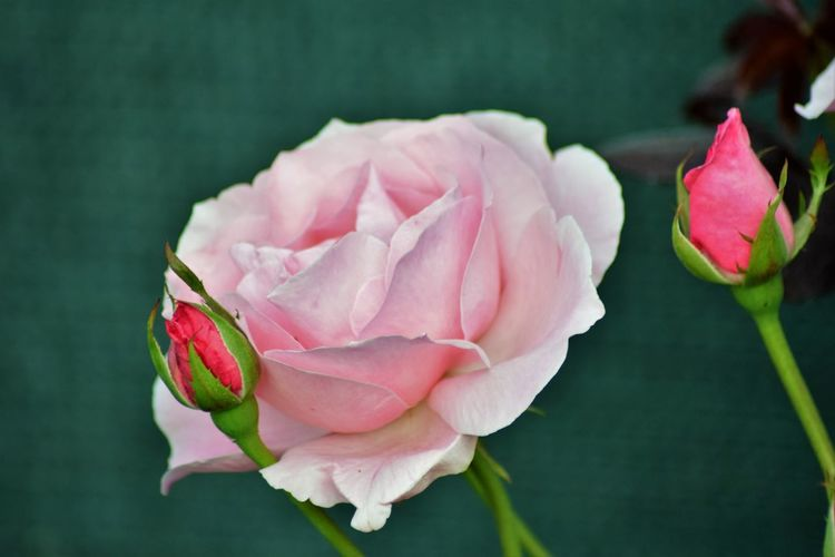 Beauty In Nature Close-up Flower Flower Head Fragility Nature Petal Pink Color Plant Rose - Flower