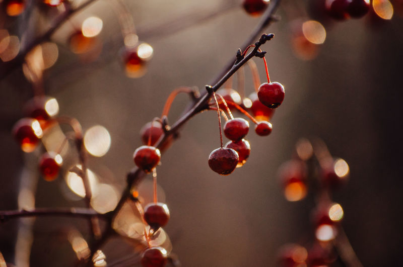 Focus On Foreground Fruit Food And Drink Food No People Healthy Eating Close-up Berry Fruit Freshness Plant Growth Twig Tree Selective Focus Red Nature Day Wellbeing Hanging Outdoors Ripe RainDrop