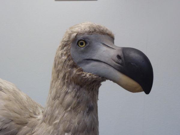 EyeEmDoDo DODO★ Portrait Of An Extinct Bird The Portraitist - 2017 EyeEm Awards