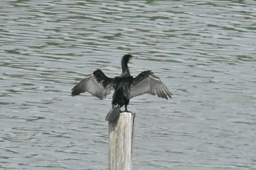 Bird Vertebrate Animals In The Wild Animal Animal Wildlife Animal Themes Spread Wings