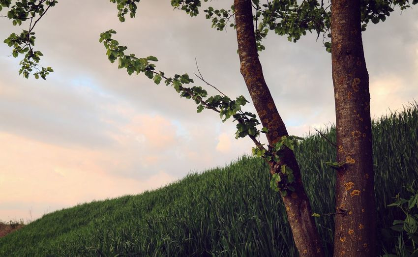 Grass Low Angle View Countryside Taking Photos Feeling Creative OpenEdit EyeEm Best Shots EyeEm Nature Lover Nature Tree Rural Scene Agriculture Sky Plant