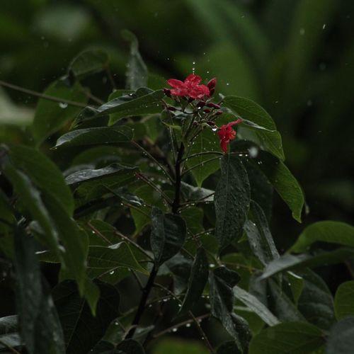 Fleurs Du Jardin Nature Photography Nature's Diversities Pluie D'été Rainy Rainy Days Rainy Season Goutte Leaf Nature No People Green Color Plant Close-up Red Flower Day