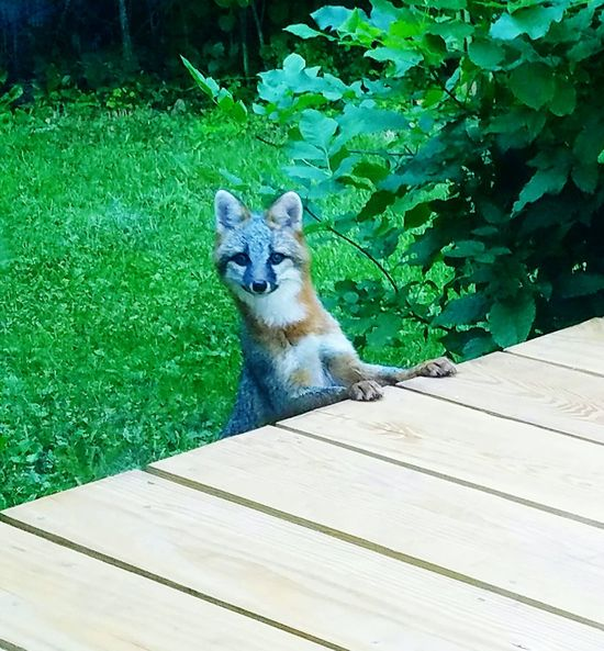 She let me take some great shots :) Taking Photos Check This Out Grey Grey Fox Red Fox Fox Babyfox Baby Fox Posing Fox Fox Posing Beautiful Beauty In Nature Green Port Huron Porch Backyard Portrait Animal Portrait Wildlife Photography Wildlife & Nature EyeEm Nature Lover