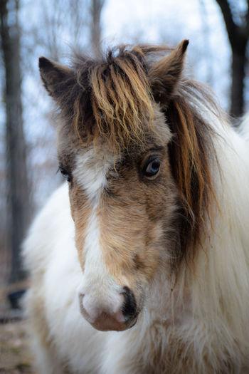 Close-up of miniature horse