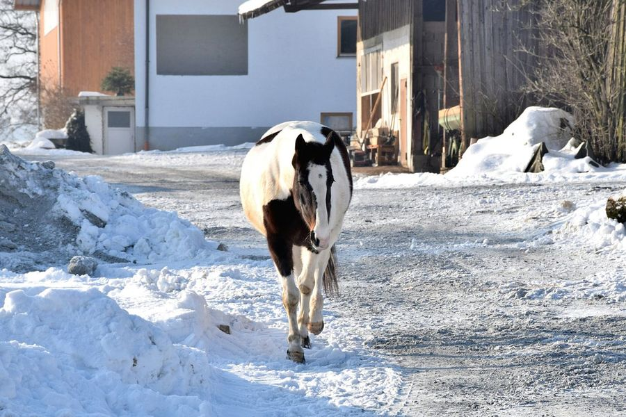 Snow Winter Cold Temperature Domestic Animals Dog Pets Animal Themes Mammal Outdoors No People One Animal Snowing Nature Day EyeEmNewHere Horse Animal Horsepower Clearskys Free Farmanimals Horse Photography  Walking Winter Farm