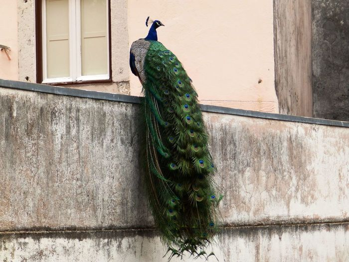 Peacock on surrounding wall against building