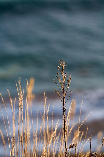 Close-up of stalks against calm sea