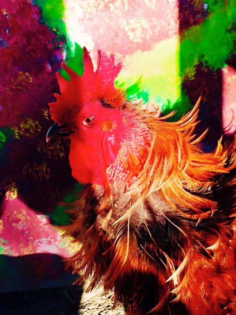 animal themes, one animal, chicken - bird, domestic animals, livestock, no people, rooster, bird, close-up, outdoors, underwater, portrait, nature, day, undersea