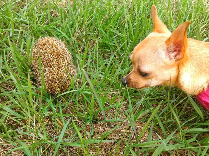 Grass High Angle View Nature Close-up Animal Themes Chihuahua Dog Animal_collection Animal Photography Hedgehog Hedgehog In Grass Outdoors Chihuahualife Littledog Friendship Animals Animalphotography EyeEm Nature Lover No People Meet Chihuahualovers Dogslife
