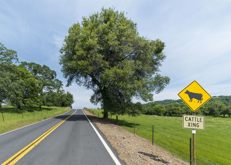 Cattle Crossing Beauty In Nature Cat Cows Crossing Day Green Color Nature No People Outdoors Road Road Sign Sky Transportation Tree Yellow