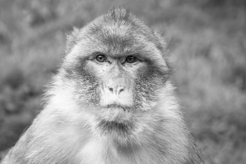 Barbary Macaques Macaque Monkey Monkey Forest Primate Mammal Animal Animals In The Wild Animal Photography Animal Portrait Animal_collection Hanging Out Blackandwhite Black & White Monochromatic Monochrome Close-up Headshot Staffordshire