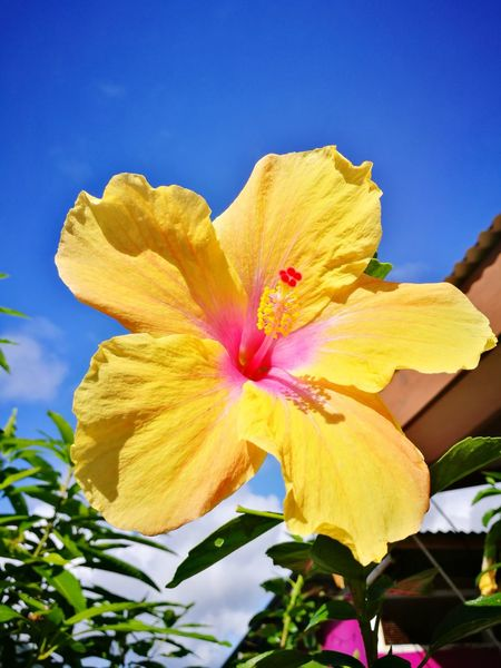 Flower Plant Ibiscus Yellow No People Low Angle View Close-up Summer Paint The Town Yellow