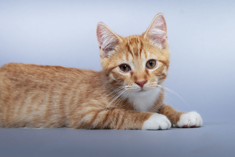 Portrait of ginger cat relaxing on floor