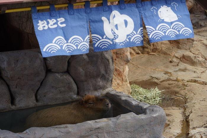 Capibara Aquarium Animal Themes Animal Mammal Vertebrate Animal Wildlife No People Day One Animal Rock Solid Domestic Animals Pets Domestic Rock - Object Nature Outdoors Communication Animals In The Wild Animal Body Part Animal Head  Herbivorous