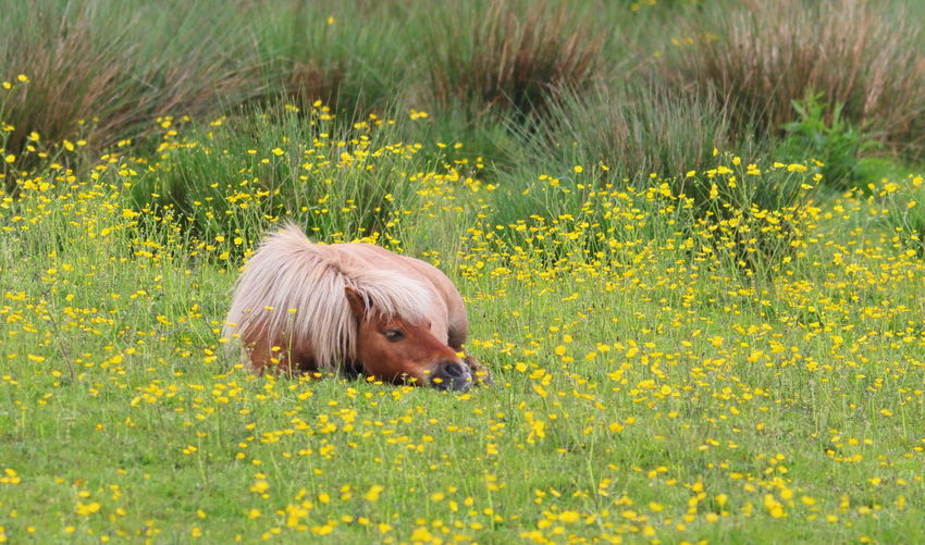 Field Horses Nature Pony Yellow Flower Animal Animal Themes Beauty In Nature Buttercup Domestic Domestic Animals Field Fields Flower Horse Horse Photography  Mammal Nature One Animal Pets Sleeping Yellow