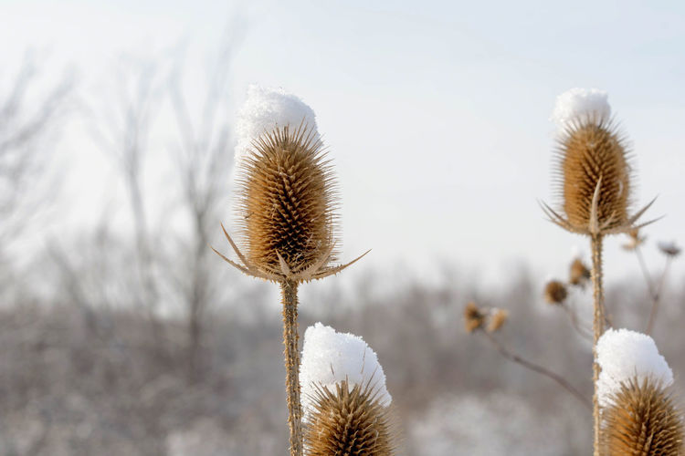Copy Space Natural Winter Winter Landscape Beauty In Nature Botanical Close-up Closeup Cold Day Earth Tones Flower Head Fragility Native Prairie Plants Nature Outdoors Plant Prairie Plants Sky Snow Snow Covered Thistle Tranquility