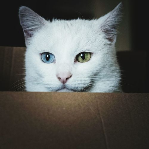 Pets Domestic Cat Looking At Camera Domestic Animals Feline Portrait No People Close-up One Animal Black Background Augenfarben Verschiedene Augen