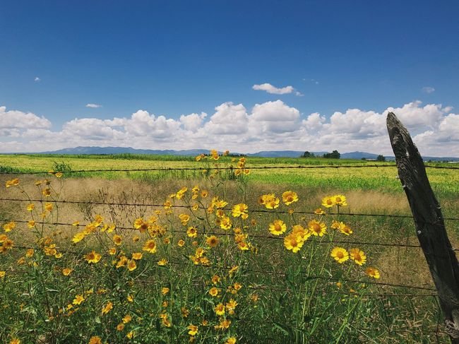 """""""Across The Sunflowers"""" Bright yellow sunflowers start a visual journey across alfalfa fields to the mountains and clouds beyond. New Mexico Photography New Mexico Blue Sky Sunflowers Barbed Wire Fence Barbed Wire Clouds And Sky Clouds Mountains Flower Flowering Plant Sky Beauty In Nature Field Growth Cloud - Sky Agriculture Rural Scene Landscape Scenics - Nature"""
