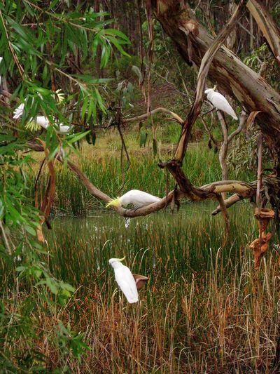 Five cockatoos