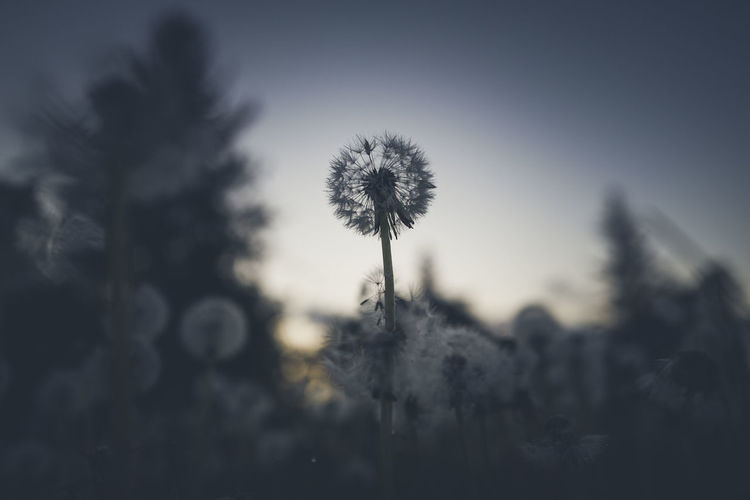 Dandelion at sunset Beauty In Nature Close-up Dandelion Dandelion Seed Day Flower Flower Head Flowering Plant Focus On Foreground Fragility Freshness Growth Nature No People Outdoors Plant Selective Focus Silhouette Sky Tranquility Tree Vulnerability