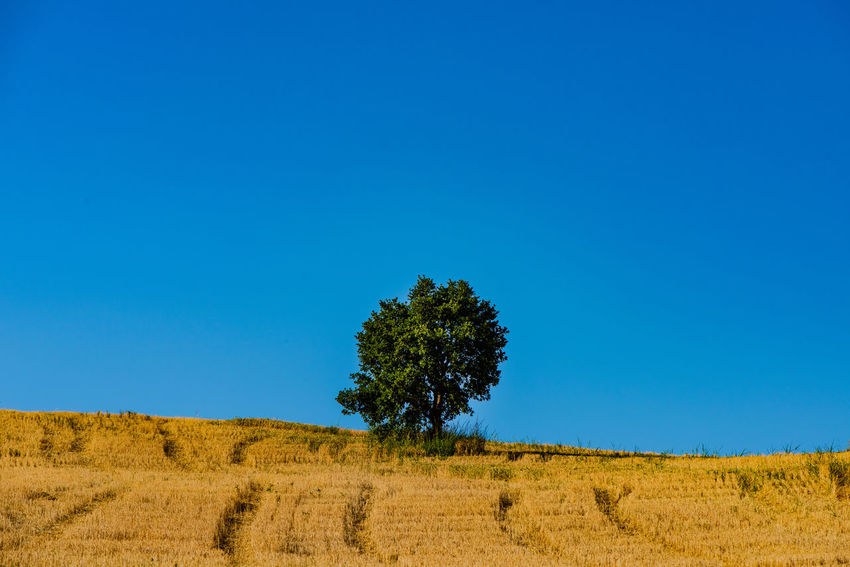 Bold contrasts of a cloudless and rich sky, a solitary full tree, and a lazily harvested field of corn in the rural Italian region of Molise. Alone Farm Field Isolated Molise Italy Rural Solitary Tree Blue Blue Sky Clear Sky Cloudless Cloudless Sky Contrast Countryside Italy Landscape Lone Minimalism Molise Rural Scene Sky Solitude Summer Tranquility Summer Road Tripping