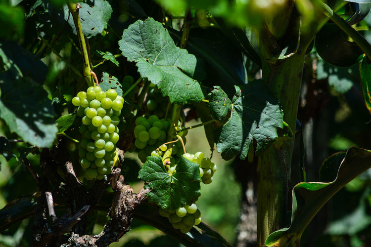 ezefer Growth Fruit Food And Drink Healthy Eating Leaf Plant Green Color Plant Part Food Freshness Beauty In Nature Vineyard Nature Grape Agriculture Day Close-up Vine Wellbeing No People Winemaking Outdoors Plantation Jundiaí Vinery