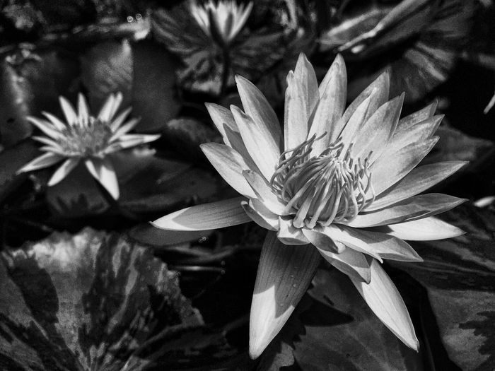 Lotus Flower Lotus Water Lily Blooming B&w Photography B&w