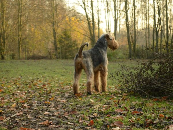 Airedale Animal Animal Themes Backside Dog No People One Animal Domestic Animals Dogslife Service Animals Nature Beatifull Field Outdoors