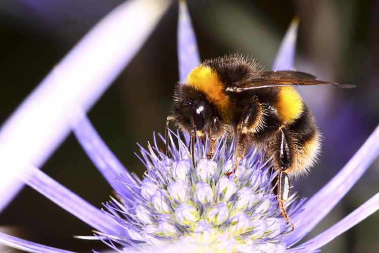 Close-up of bumblebee pollinating on purple flower blooming outdoors