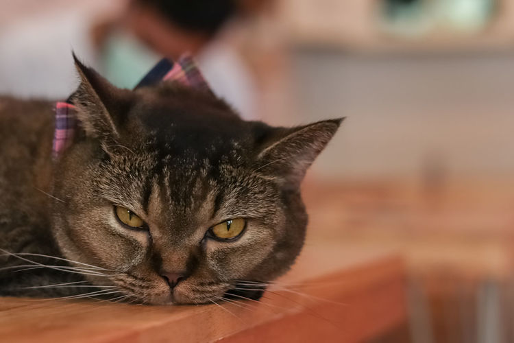 The Angry Cat, Cute Cat Angry Cat Lovely Cat Cute Cats Cat Domestic Cat Pets Domestic Domestic Animals Feline Mammal Animal Themes One Animal Animal Close-up Whisker Focus On Foreground Vertebrate No People Animal Body Part Indoors  Relaxation Animal Head  Portrait Tabby Animal Eye