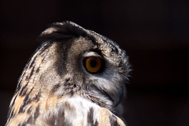 Close-up portrait of owl at night