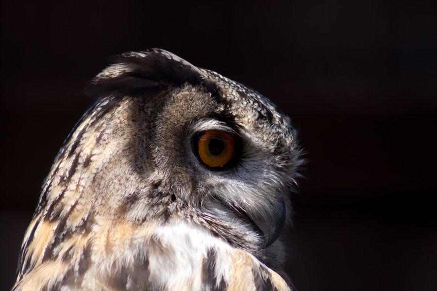 Eagle Owl Portrait Beak Eagle Owl  Beak Bird Bird Of Prey Black Background Dark Background Ear Eye Feather  Headshot No People Owl Portrait Uncluttered Background Wildlife