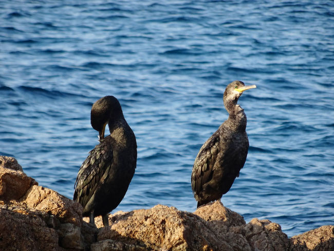 Animal Themes Animal Wildlife Animals In The Wild Beauty In Nature Bird Close-up Cormorant  Day Nature No People Outdoors Perching Rock - Object Sea Water