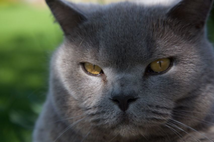 Animal Themes British Blue British Blue Short Hair.cats Cat Close-up Domestic Animals Domestic Cat Feline Looking At Camera Mammal Mr Grumpy No People One Animal Outdoors Pets Portrait Whisker Yellow Eyes