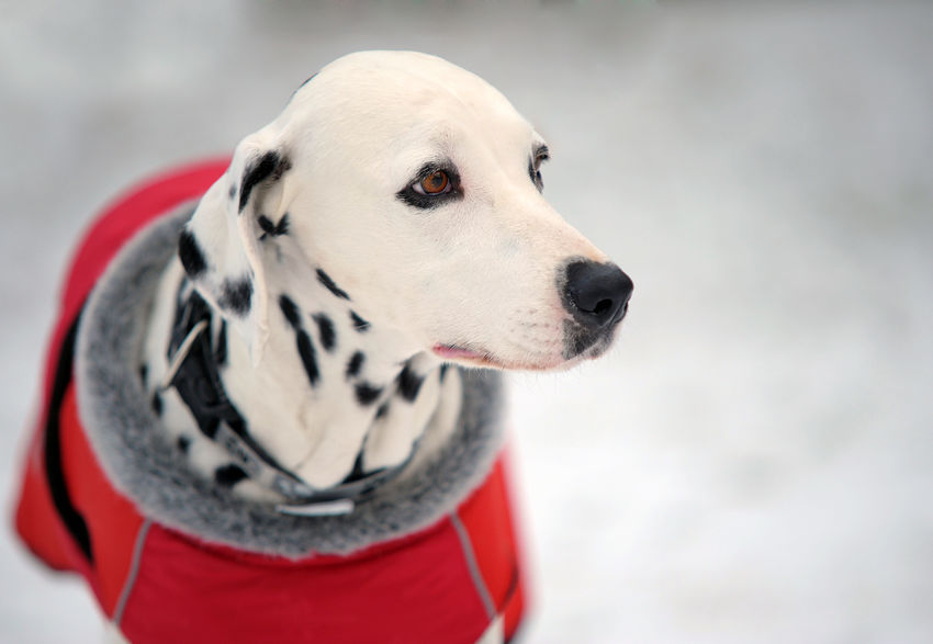 Portrait of beautiful Dalmatian dog in a red coat in winter time. Animal Themes Close-up Dalmatian Dog Day Dog Dog Clothes Dog Eyes Dog Head Shot Mammal No People One Animal Pets Spotted Spotted White Winter